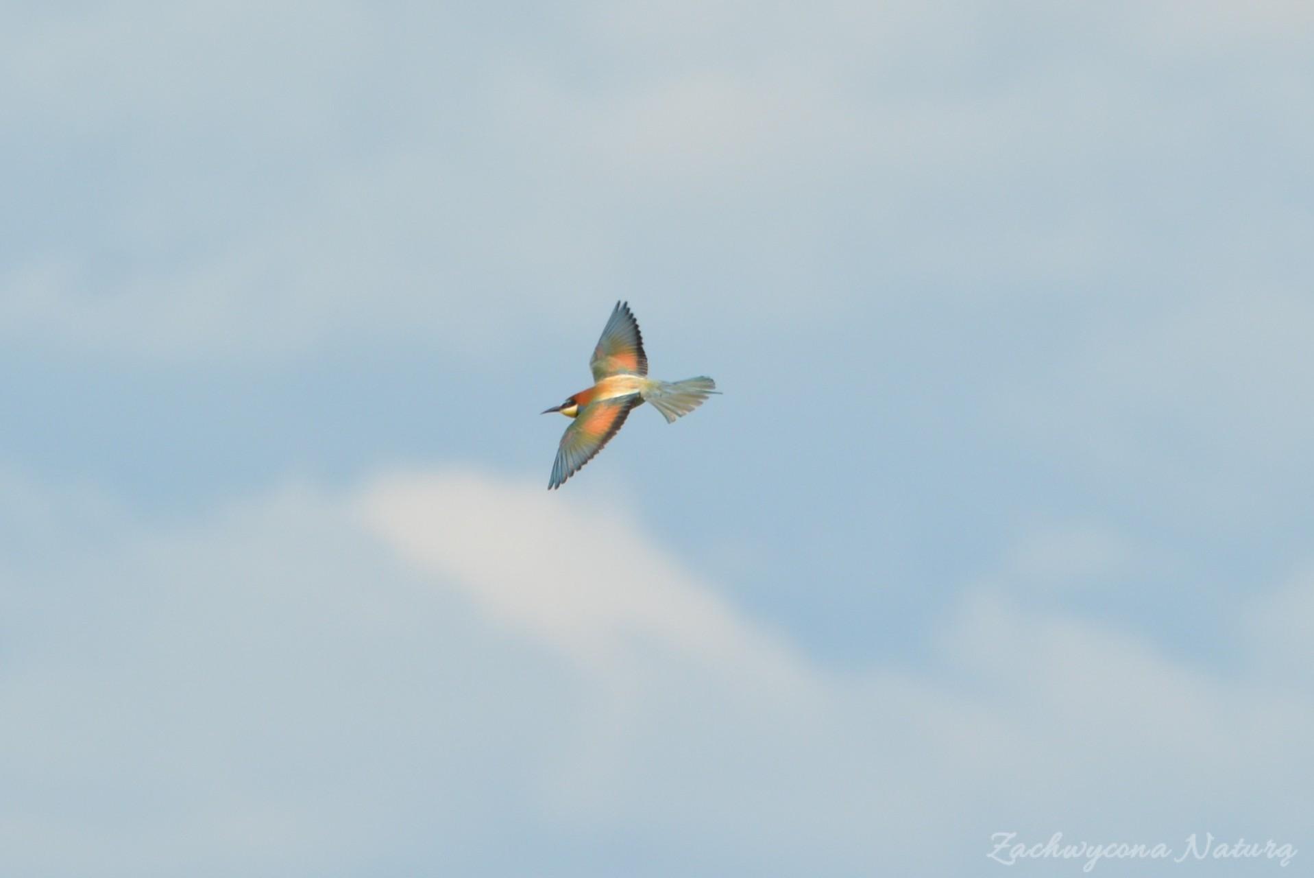 zolna-kolorowa-jak-papuga-merops-apiaster-bee-eater-10