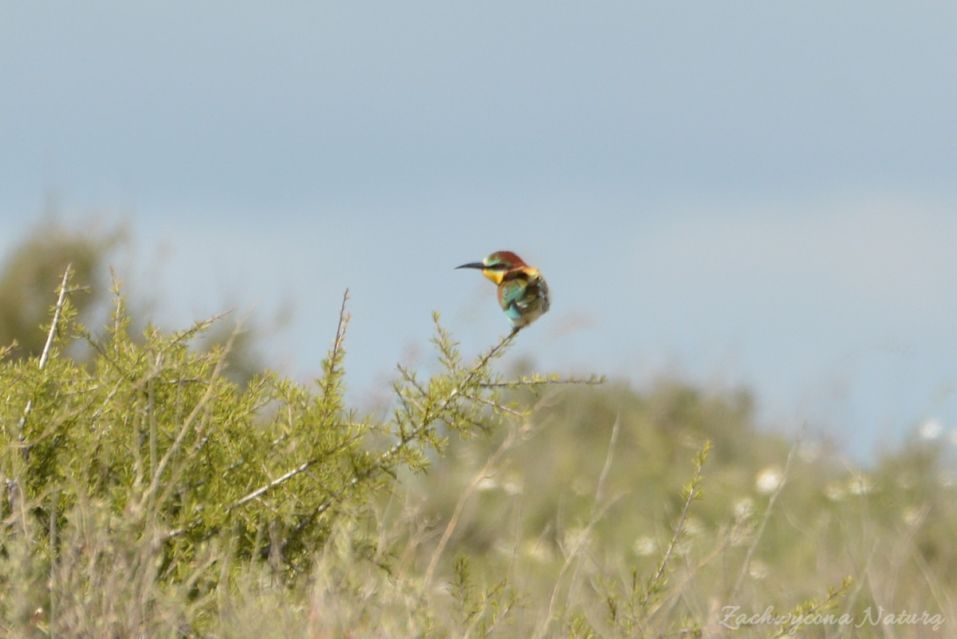 zolna-kolorowa-jak-papuga-merops-apiaster-bee-eater-11