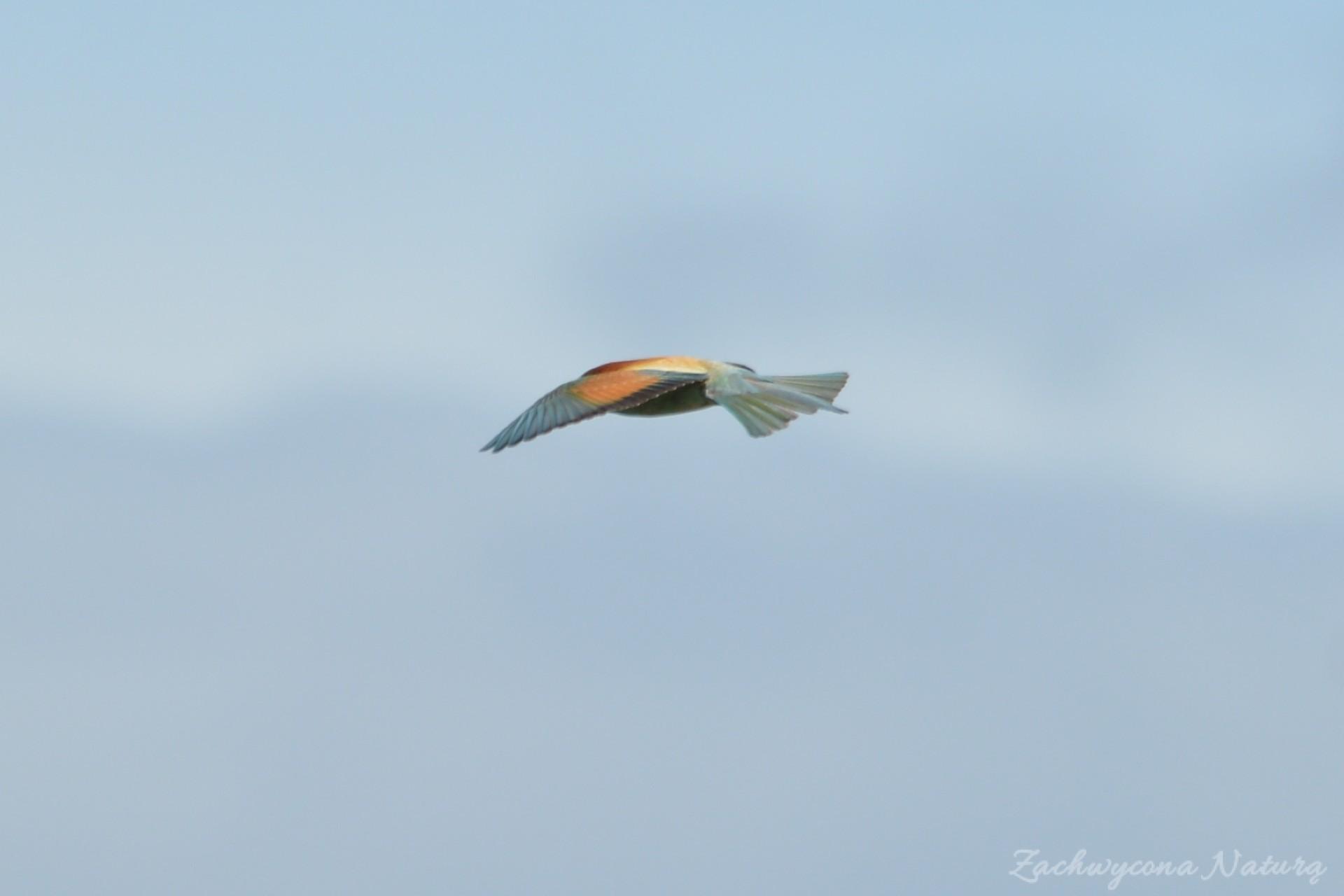 zolna-kolorowa-jak-papuga-merops-apiaster-bee-eater-12