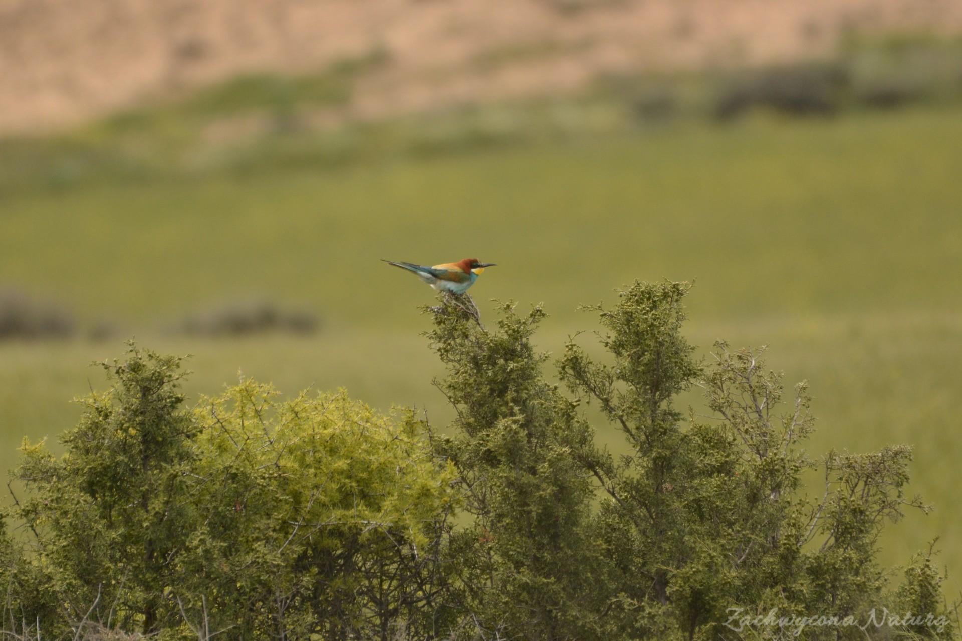 zolna-kolorowa-jak-papuga-merops-apiaster-bee-eater-3