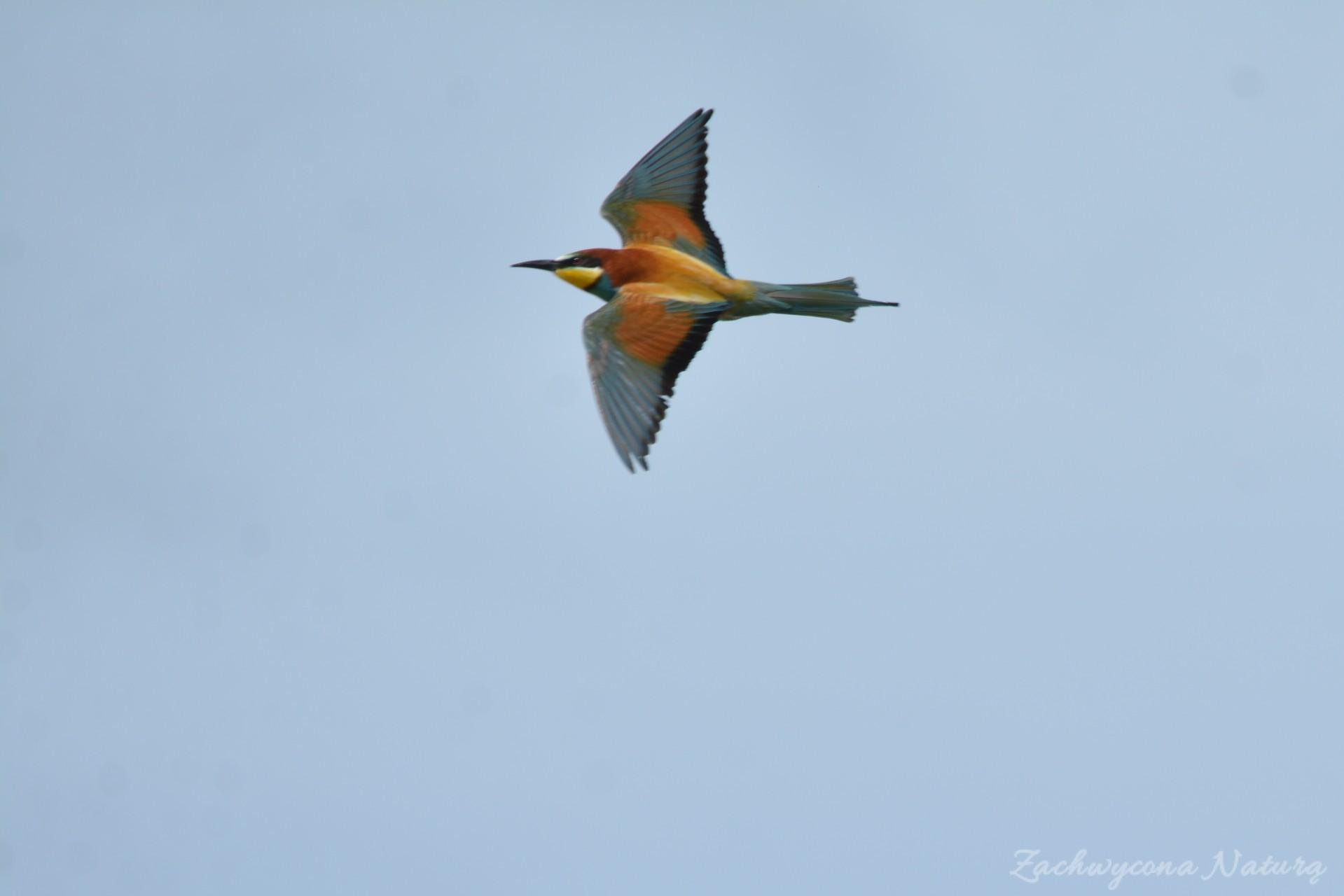 zolna-kolorowa-jak-papuga-merops-apiaster-bee-eater-4