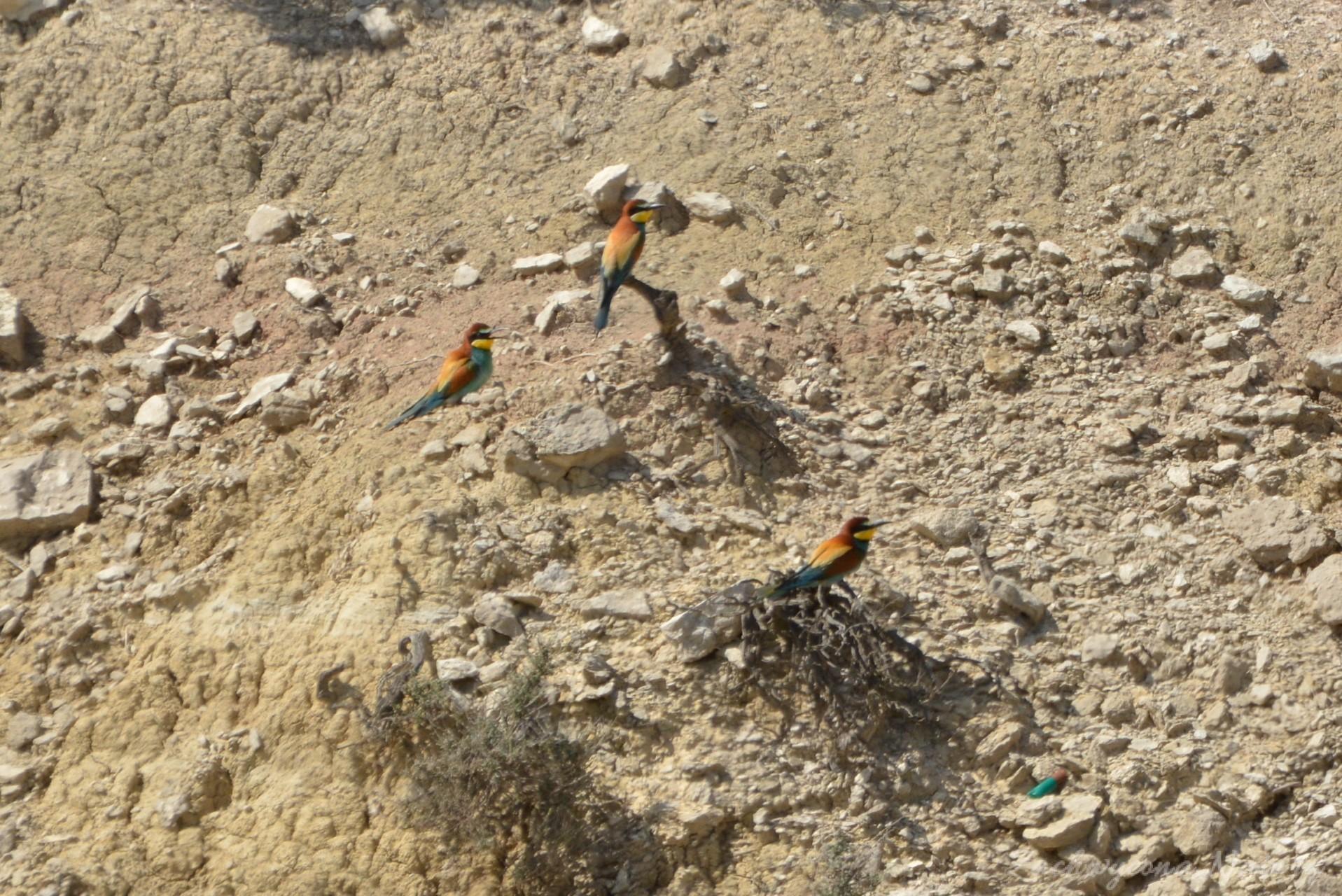 zolna-kolorowa-jak-papuga-merops-apiaster-bee-eater-5
