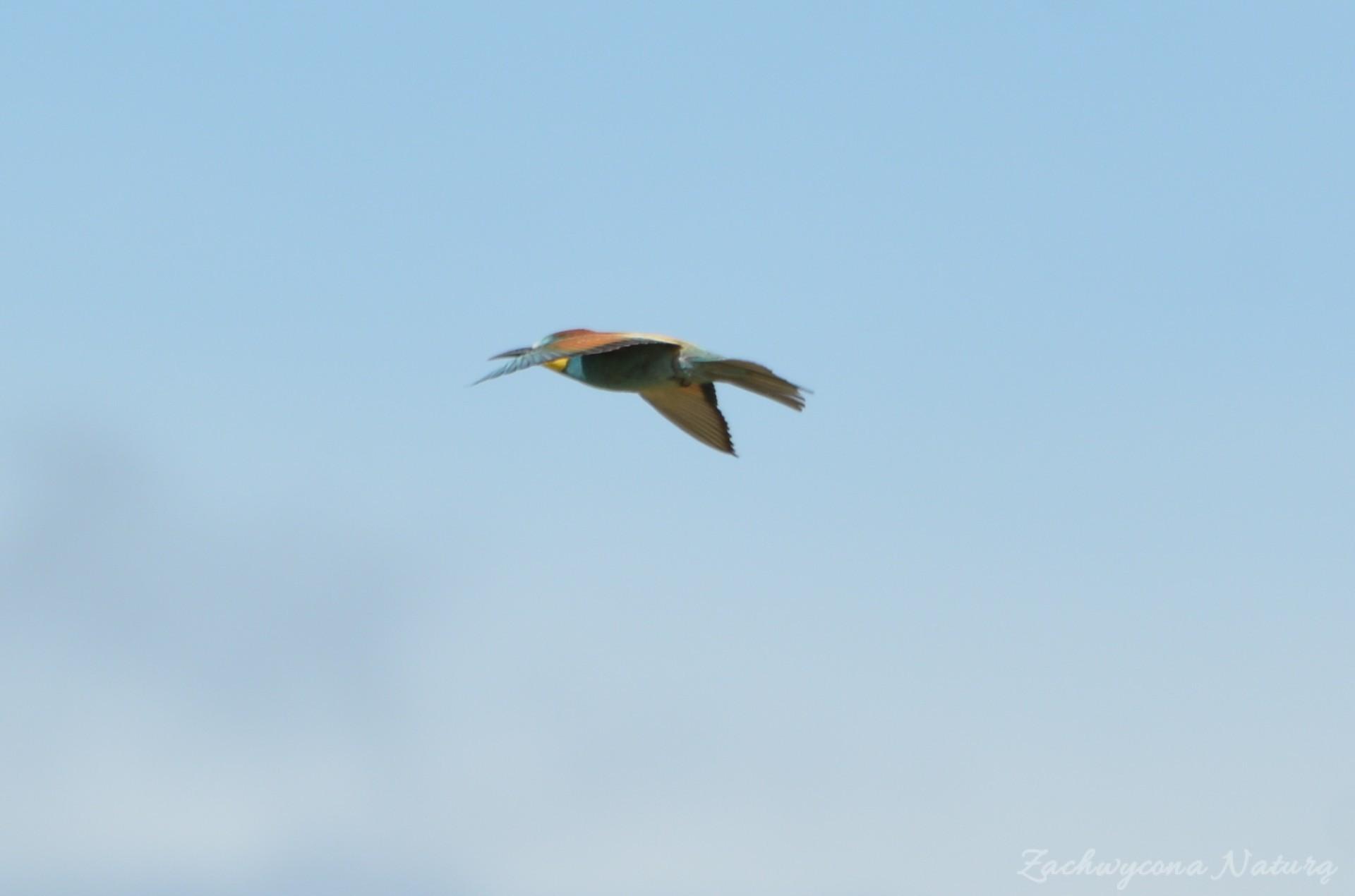 zolna-kolorowa-jak-papuga-merops-apiaster-bee-eater-6