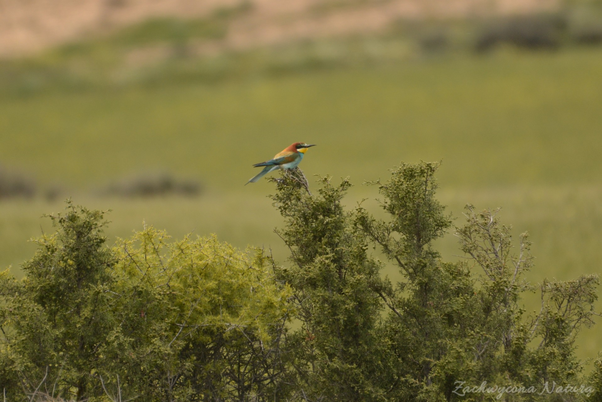 zolna-kolorowa-jak-papuga-merops-apiaster-bee-eater-7