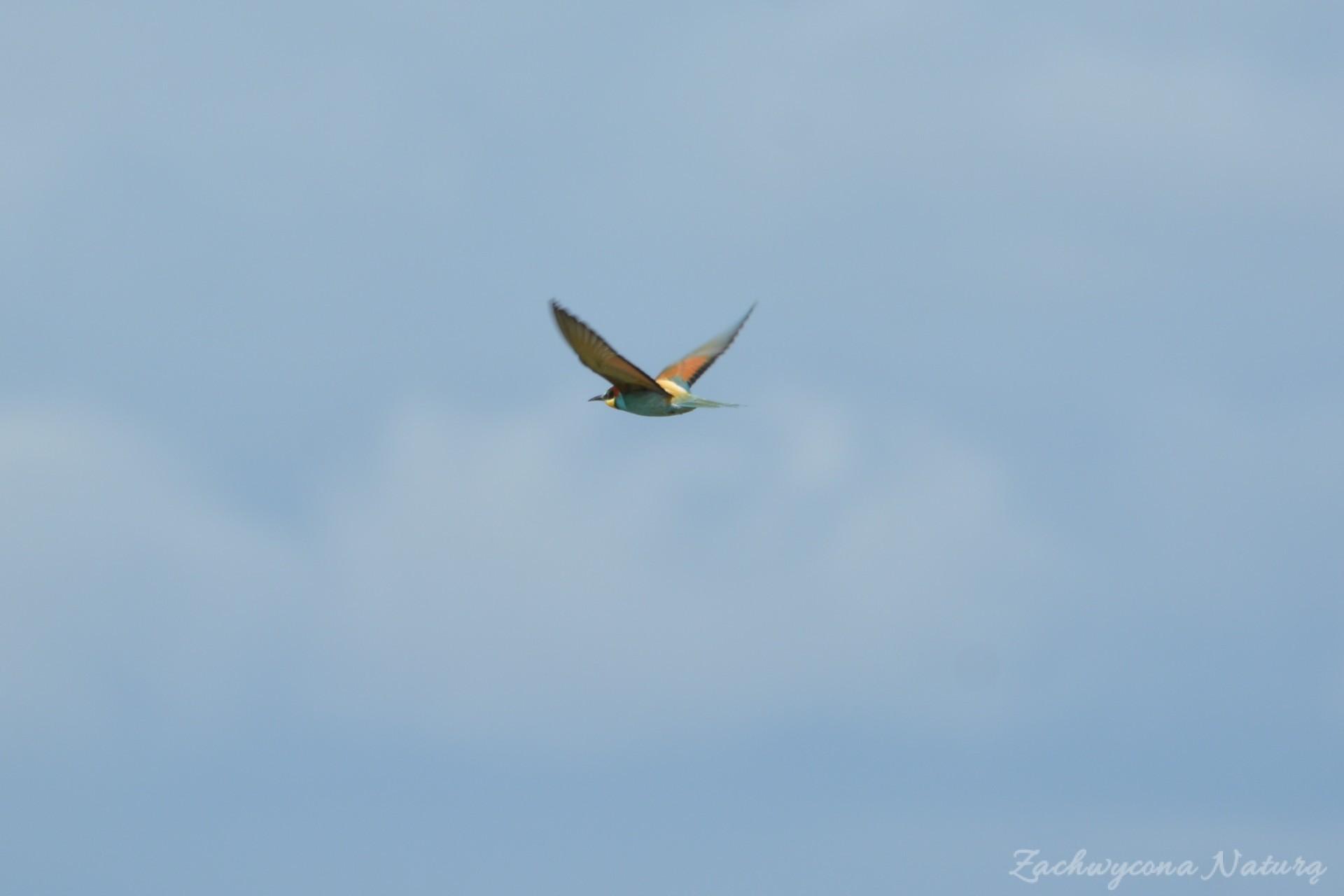 zolna-kolorowa-jak-papuga-merops-apiaster-bee-eater-8