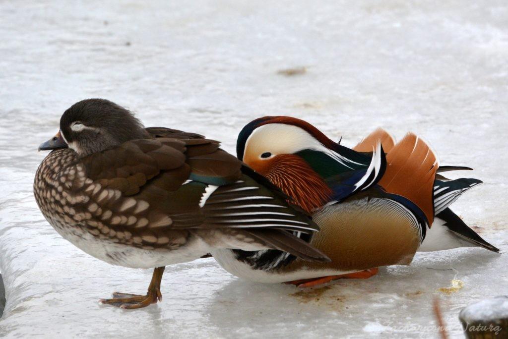 Madarynki - kaczki