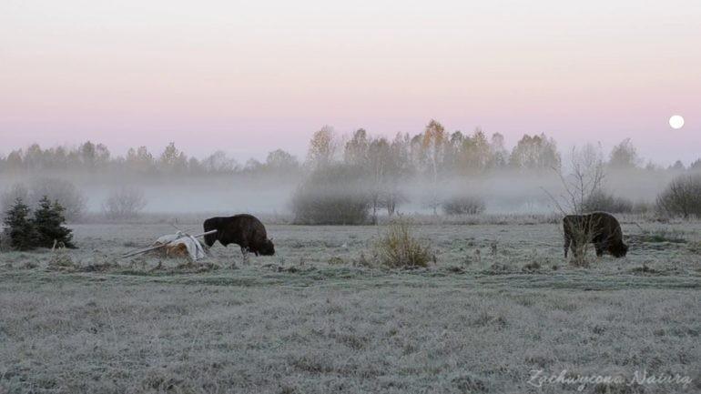 Żubry we mgle…