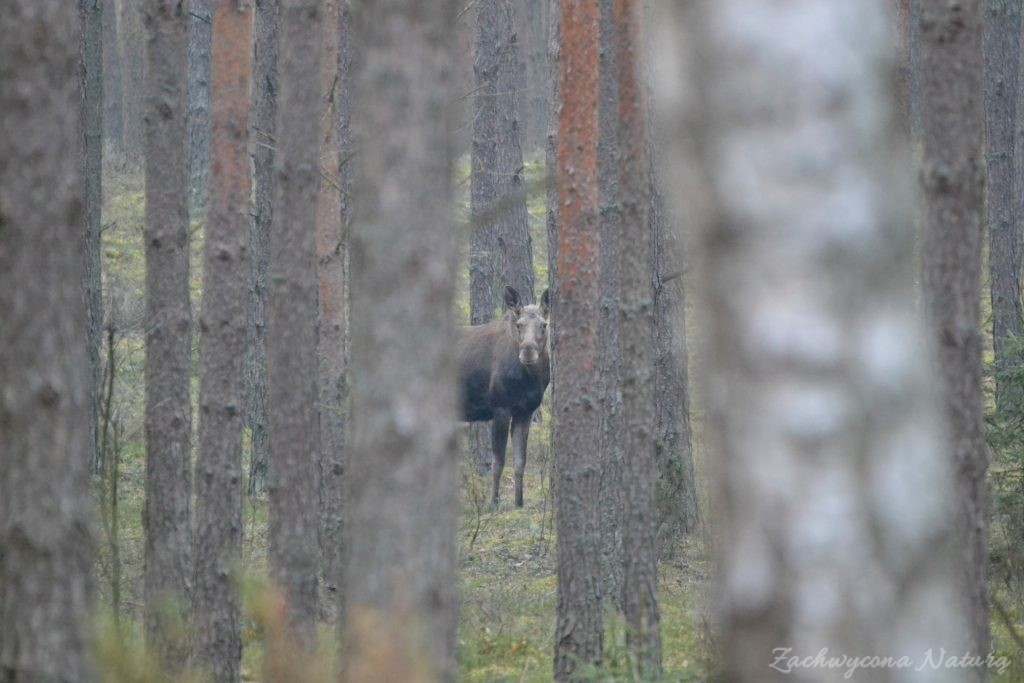 Łosie - leśne duchy (12)