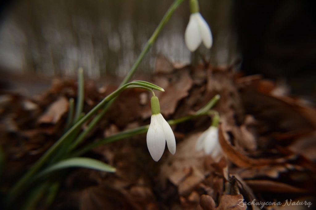 Śnieżyczka przebiśnieg (Galanthus nivalis)- symbol przedwiośnia (2)