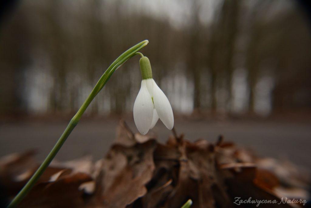 Śnieżyczka przebiśnieg (Galanthus nivalis)- symbol przedwiośnia (4)