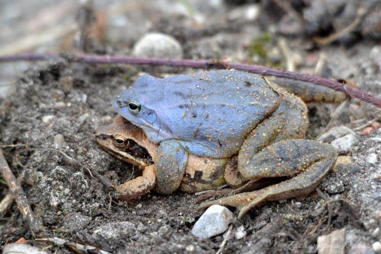 Niebieskie żaby moczarowe (1)