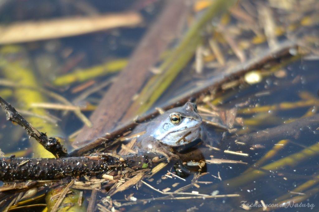 Niebieskie żaby moczarowe (2)