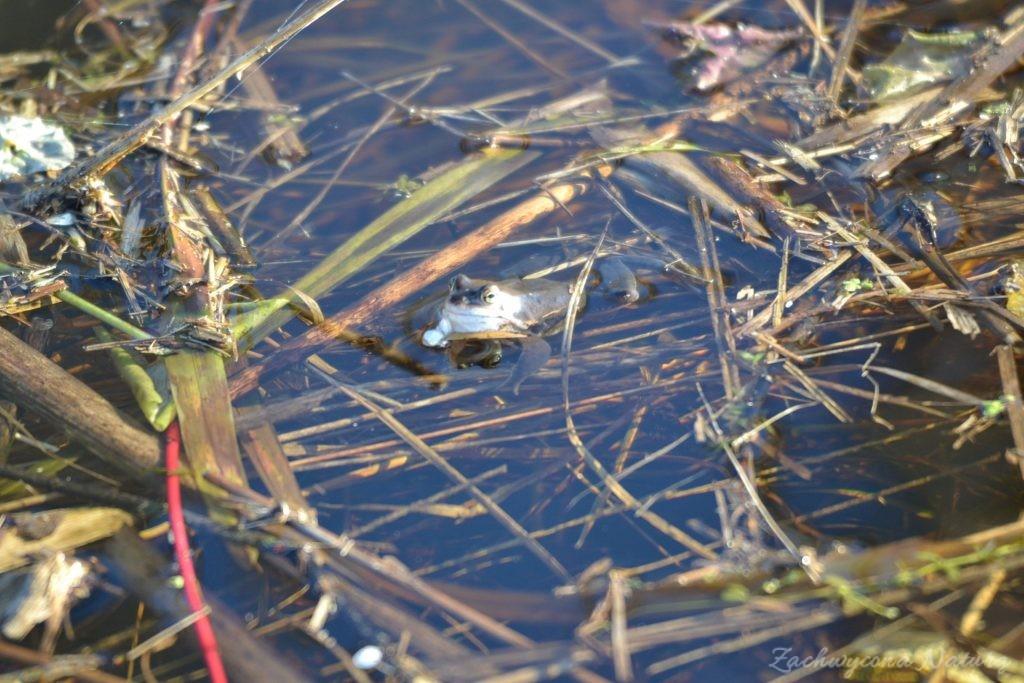 Niebieskie żaby moczarowe (4)