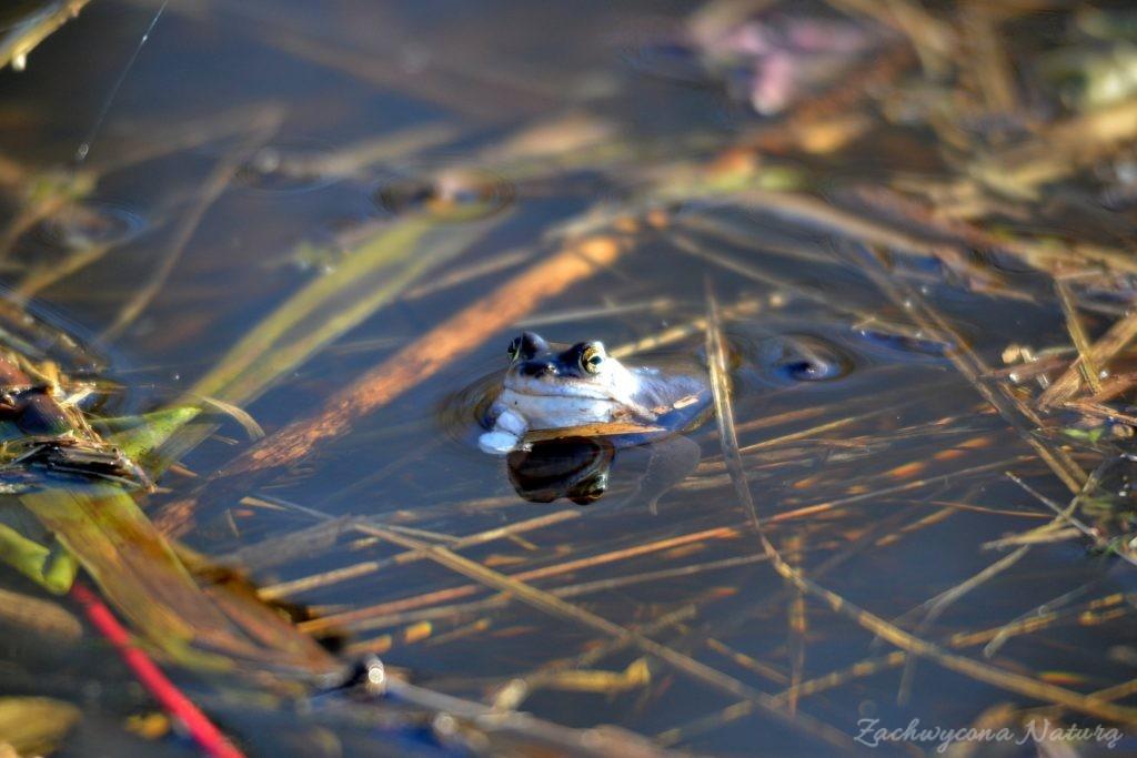 Niebieskie żaby moczarowe (5)