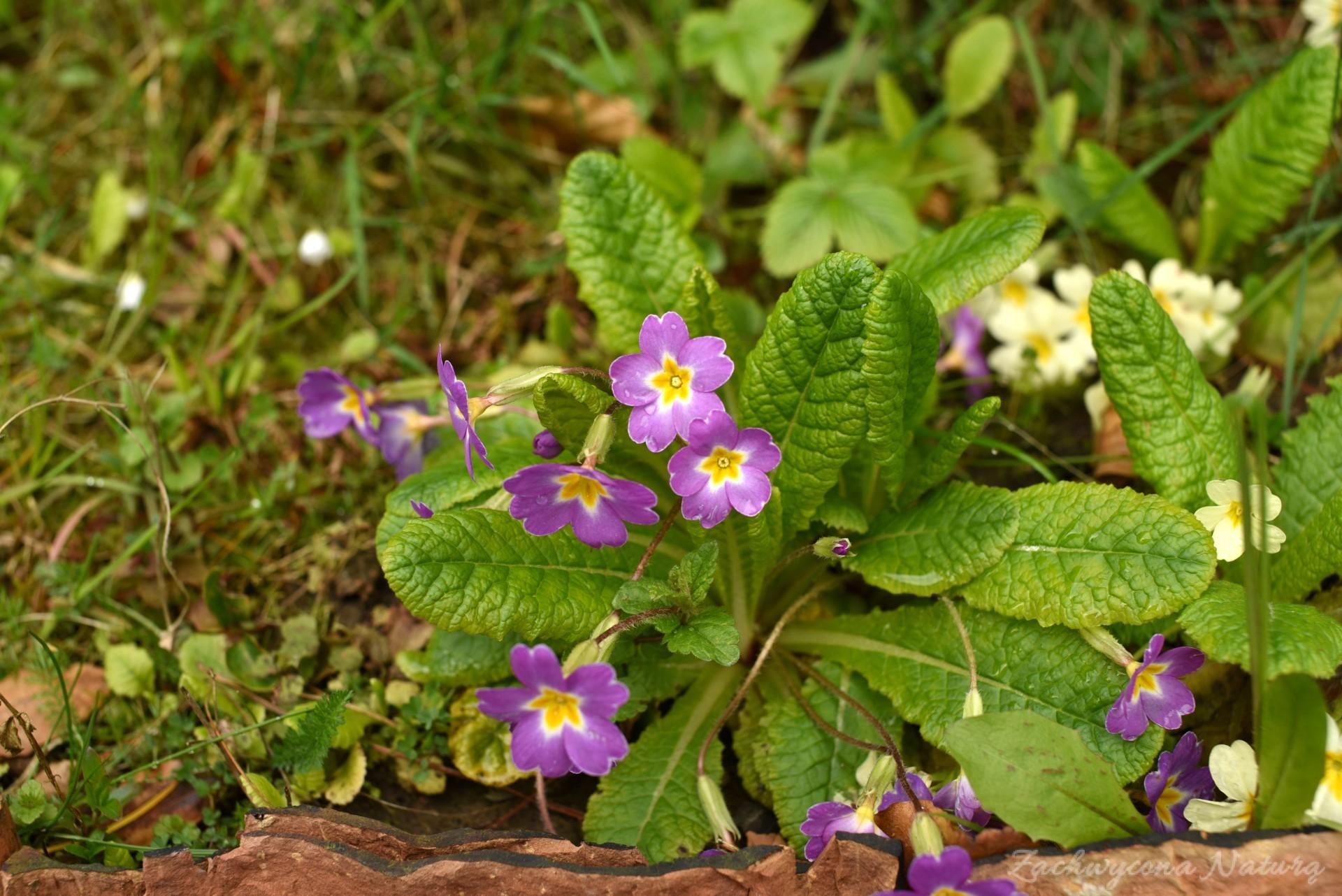 Pierwiosnek Zwiastun Wiosny Zachwycona Naturą