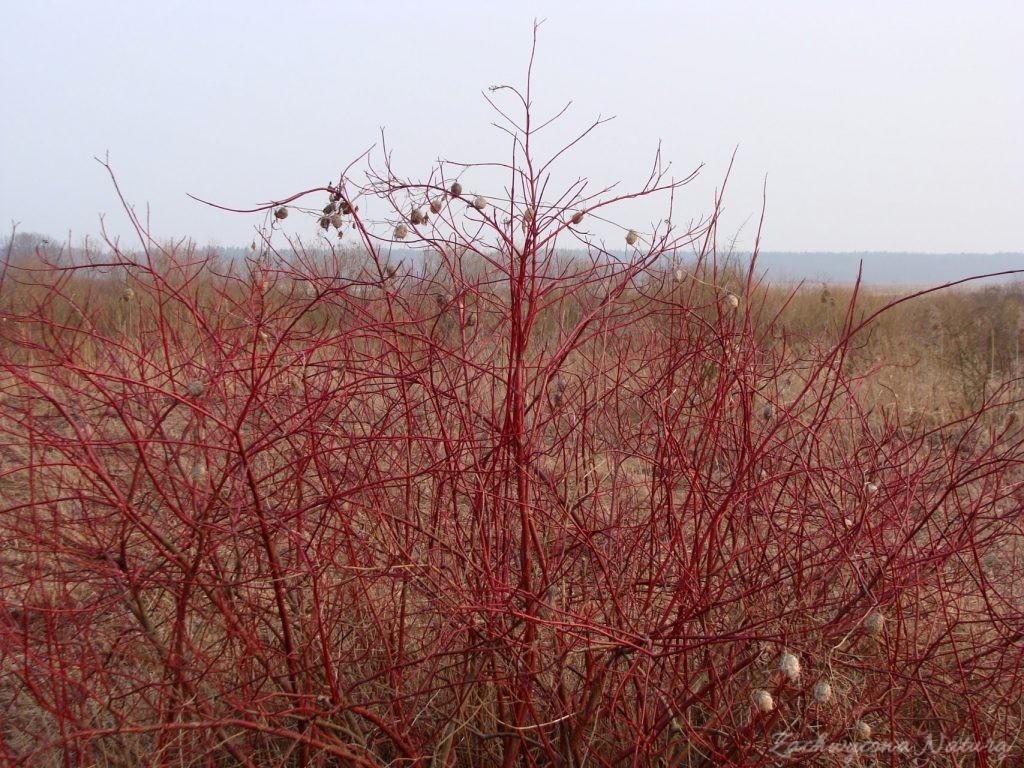 Jego brzegi porasta roślina o czerwonych gałęziach - dereń świdwa