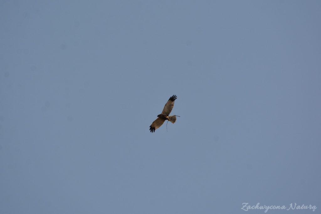 Błotniak stawowy -samiec