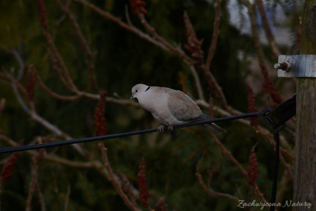 Sierpówka (Synogarlica turecka) - dziki gatunek gołębia (1)