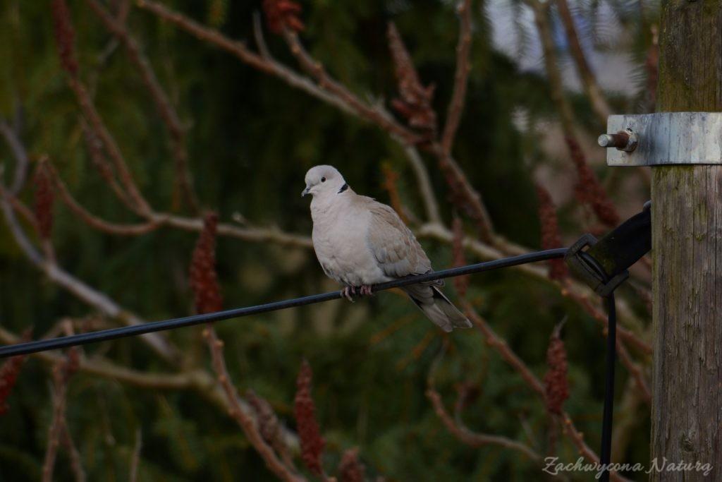 Sierpówka (Synogarlica turecka) - dziki gatunek gołębia (2)