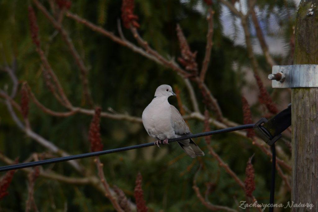 Sierpówka (Synogarlica turecka) - dziki gatunek gołębia (3)