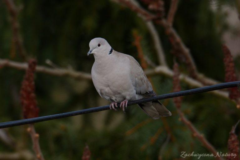 Sierpówka (Synogarlica turecka) - dziki gatunek gołębia (4)