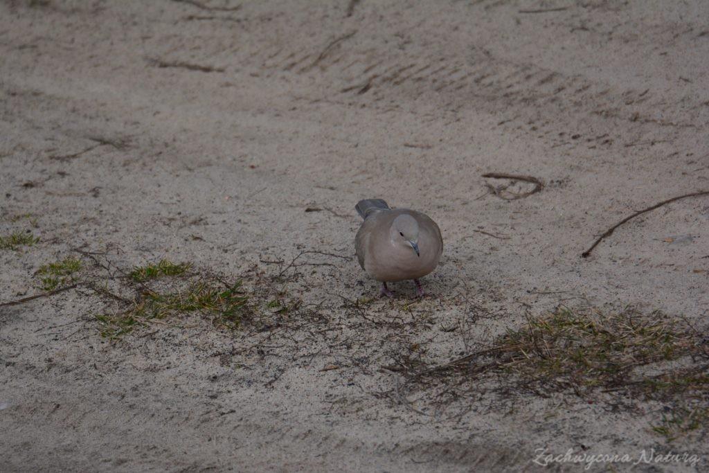 Sierpówka (Synogarlica turecka) - dziki gatunek gołębia (6)