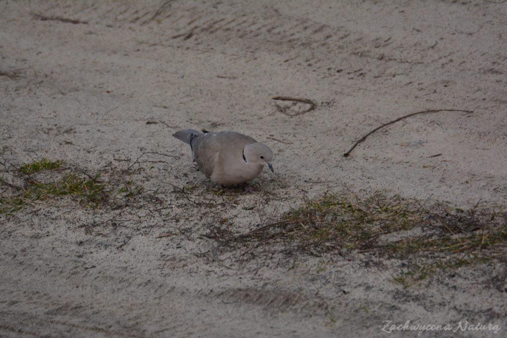 Sierpówka (Synogarlica turecka) - dziki gatunek gołębia (7)