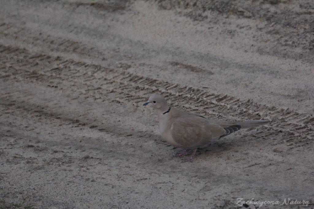 Sierpówka (Synogarlica turecka) - dziki gatunek gołębia (8)