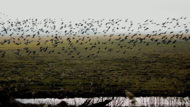 Gęsi białoczelne w Parku Narodowym Ujście Warty
