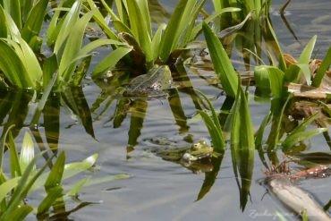 Pieśń żab zielonych