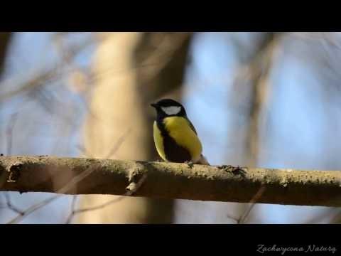 Śpiew bogatki zwyczajnej (sikory bogatki, Parus major)