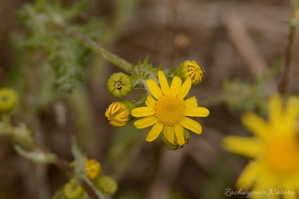 Starzec wiosenny (Senecio vernalis)