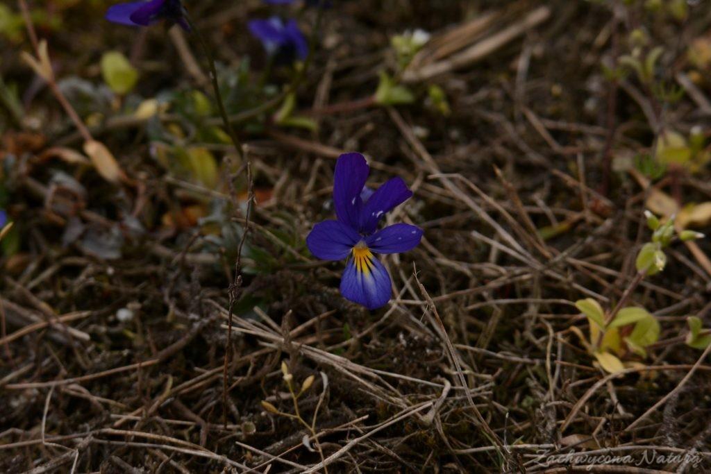 Fiołek trójbarwy (Viola tricoloris)