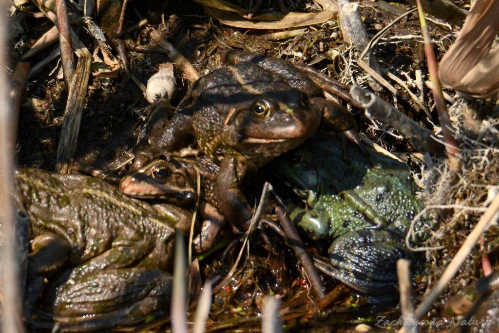 Żaby zielone (śmieszki)