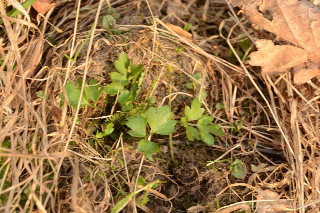 Jaskier - roślina trująca