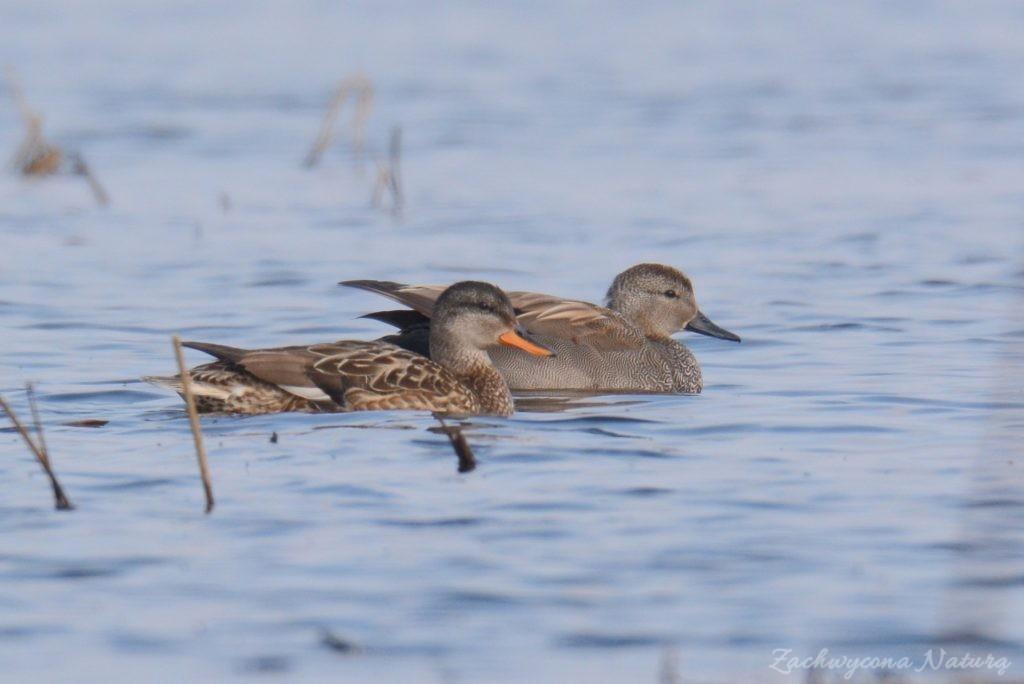 Krakwy - samic po prawej