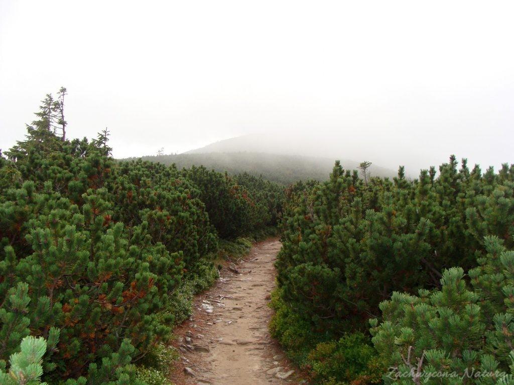 Kosodrzewina we mgle
