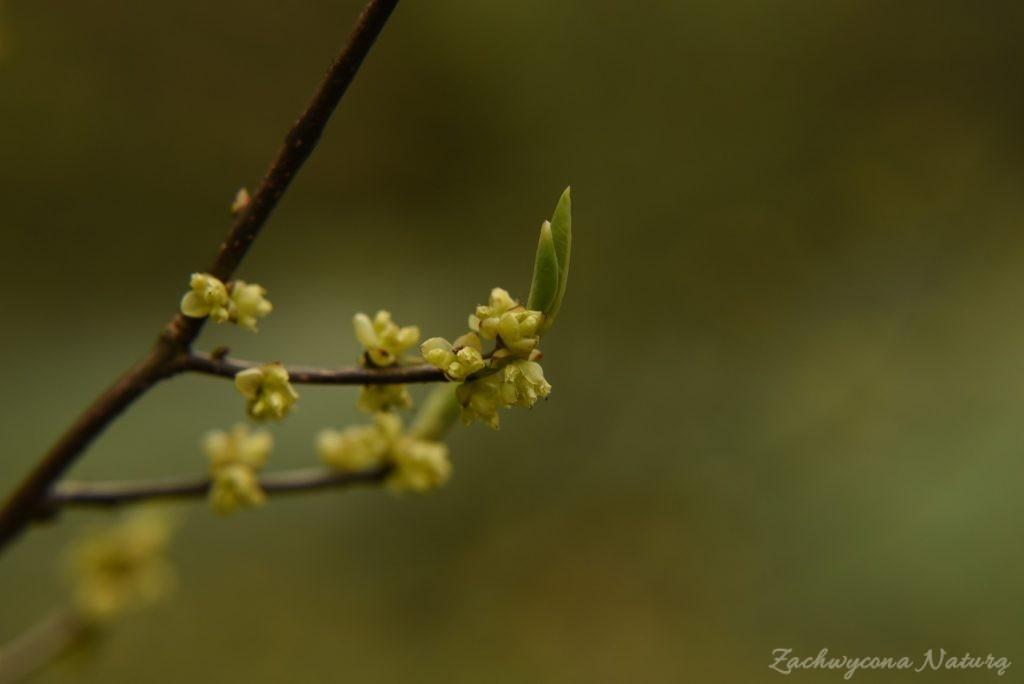 Herbatka z krzaka Spicebush o zapachu cytryny z imbirem (1)