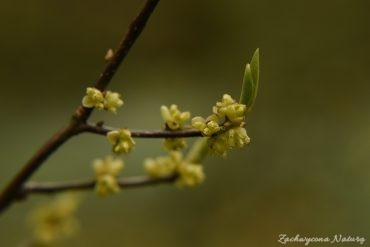 Spicebush (Lindera beznoin) - indiańska przyprawa i lek (1)