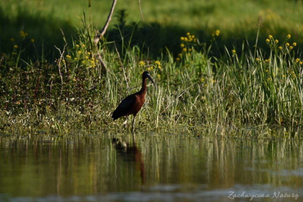 Ibis kasztanowaty (1)
