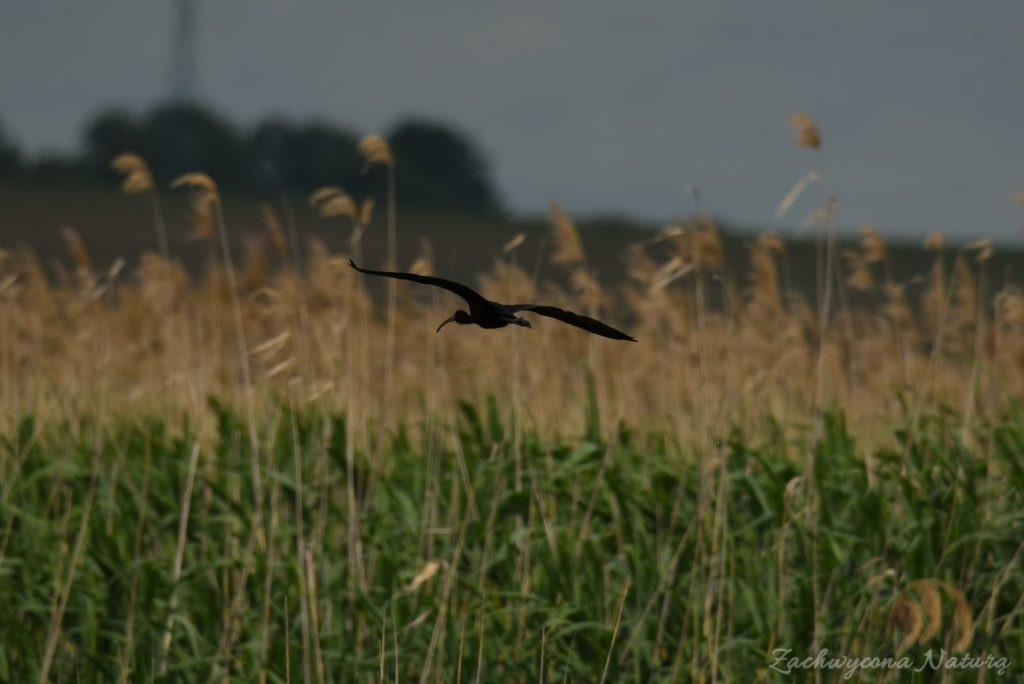 Ibis kasztanowaty (12)