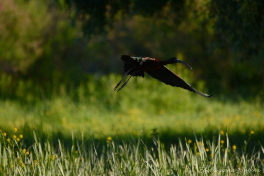Ibis kasztanowaty (17)