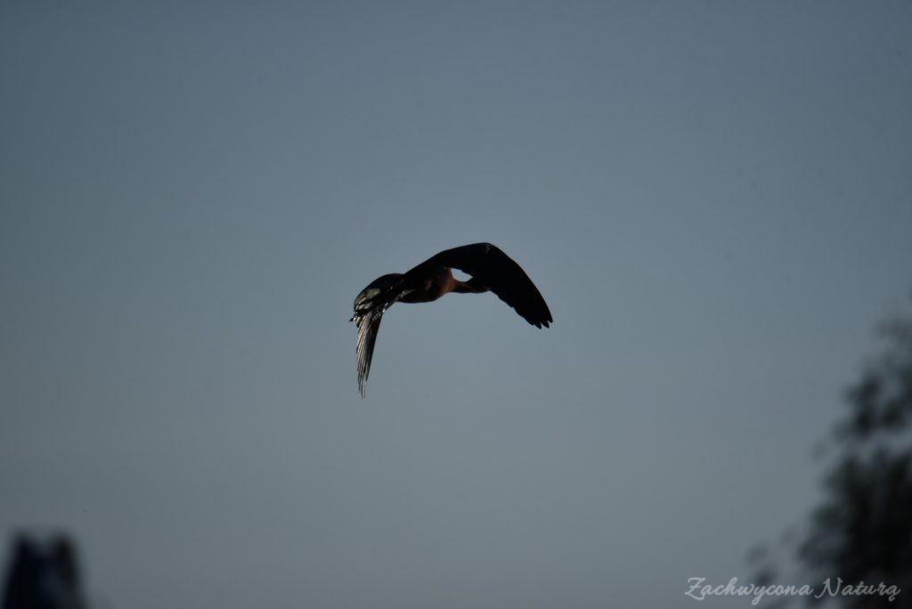 Ibis kasztanowaty (2)