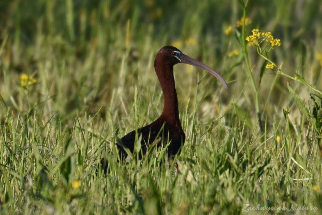 Ibis kasztanowaty (5)