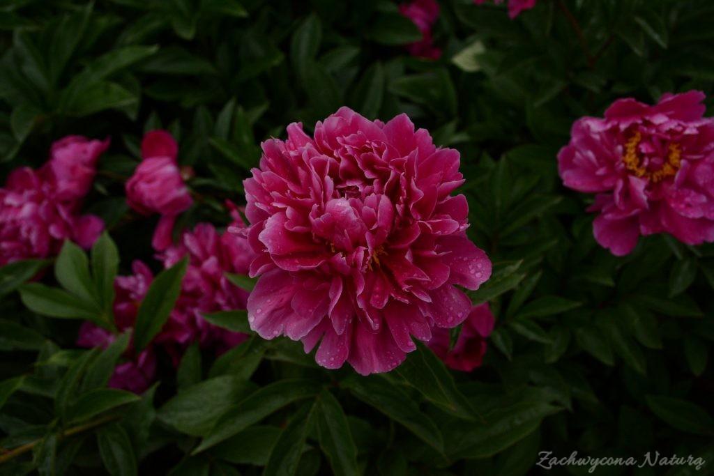 Piwonia - cesarzowa ogrodu (11)