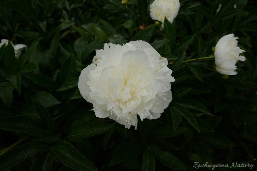 Piwonia - cesarzowa ogrodu (12)