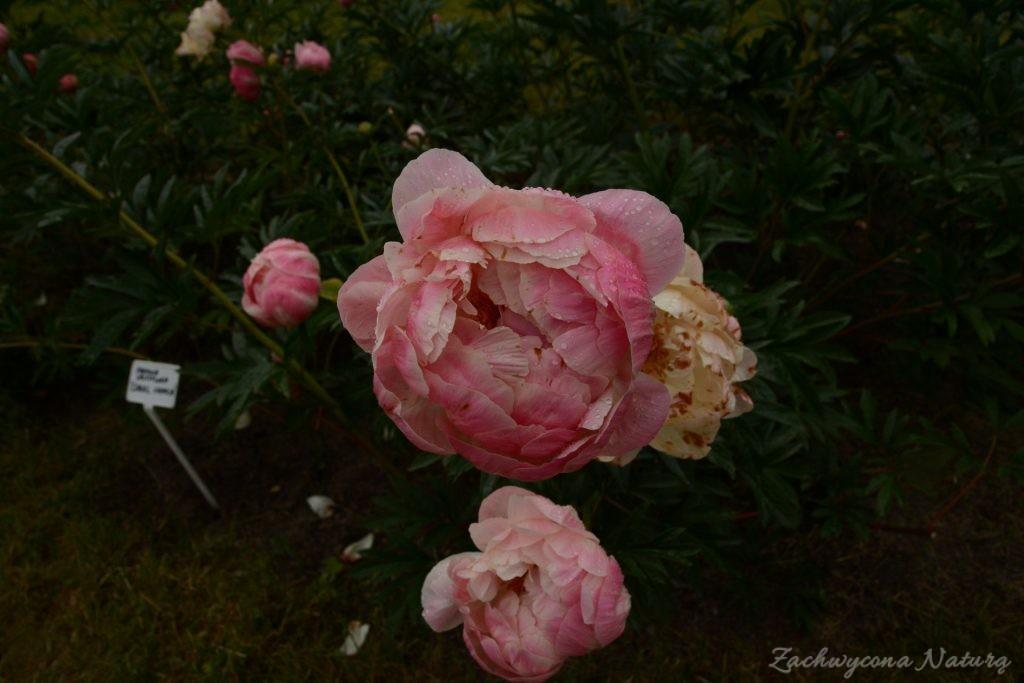 Piwonia - cesarzowa ogrodu (15)
