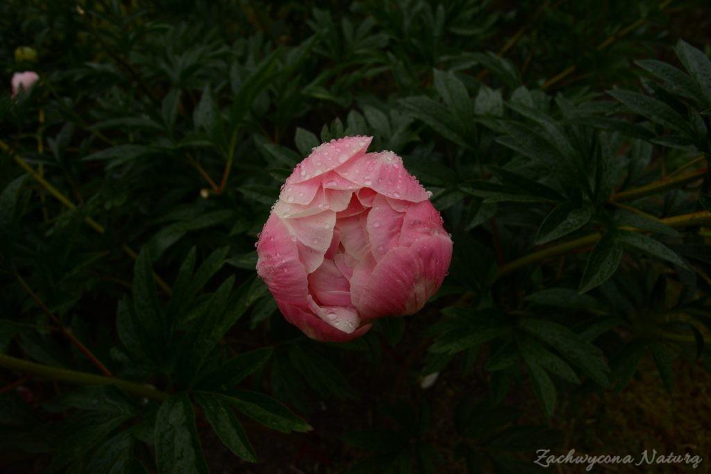 Piwonia - cesarzowa ogrodu (16)