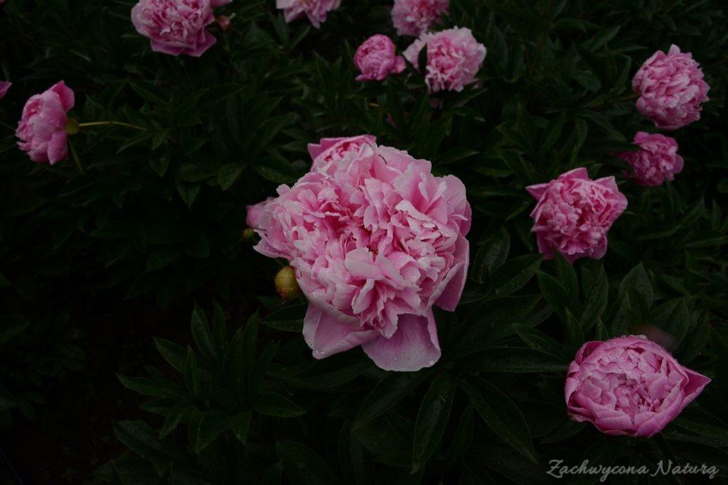 Piwonia - cesarzowa ogrodu (17)