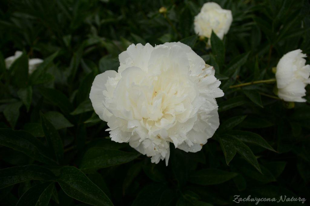 Piwonia - cesarzowa ogrodu (18)